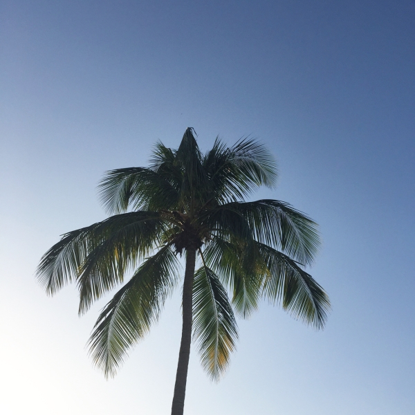 palm tree in a clear blue sky